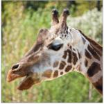 PixWords żyrafa