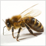 PixWords pszczoła